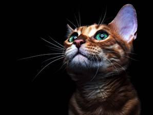 Fotos Katze Blick Schnurrhaare Vibrisse Schwarzer Hintergrund Schnauze