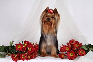 Hintergrundbilder Hund Chrysanthemen Yorkshire Terrier Schleife