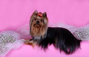 Fotos Hund Yorkshire Terrier Schleife Ast Rosa Hintergrund Tiere