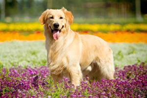 Fotos Hunde Golden Retriever Zunge Starren