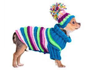 Fotos Hunde Weißer hintergrund Chihuahua Uniform Mütze