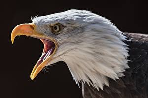 Picture Eagles Birds Beak Head