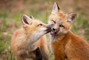 Images Foxes 2 Animals