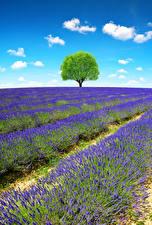 Bakgrundsbilder på skrivbordet Frankrike Provence Fält Lavendlar Träd Natur