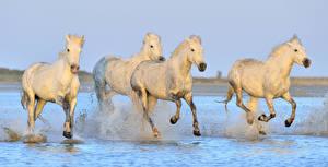 Wallpapers Horses Water White Run Water splash Animals