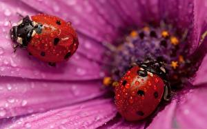 Pictures Insects Ladybugs Closeup Drops Animals