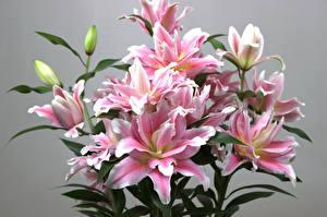 Hintergrundbilder Lilien Grauer Hintergrund Rosa Farbe Blütenknospe Blumen