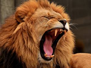 Wallpaper Lions Canine tooth fangs Angry Tongue Animals