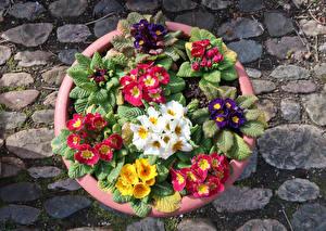 Photo Primula Multicolor