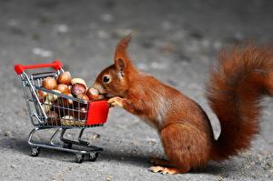 Hintergrundbilder Eichhörnchen Schalenobst Einkaufen