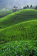 Hintergrundbilder Sri Lanka Acker Hügel Nuwara Eliya Natur
