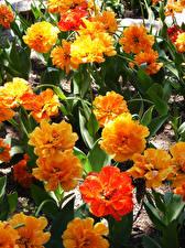 Picture Tulips Closeup Orange Flowers