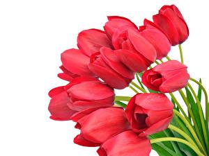 Fotos Tulpen Hautnah Weißer hintergrund Rot Blumen