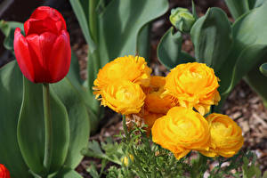 Hintergrundbilder Tulpen Ranunkel Großansicht Blüte