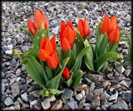 Image Tulips Stones Orange Flowers
