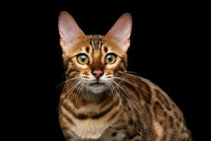 Bilder Katzen Bengalkatze Schwarzer Hintergrund Starren