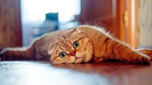 Hintergrundbilder Katzen Schottische Faltohrkatze Starren