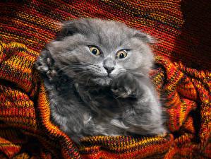 Bilder Hauskatze Schnauze Starren Grau Lustige ein Tier