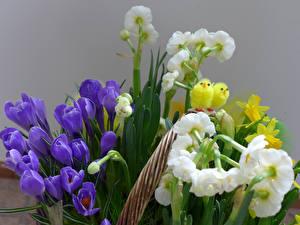 Fotos Krokusse Narzissen Kücken Blumen