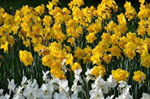 Fotos Narzissen Großansicht Gelb Blüte