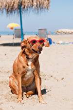 Hintergrundbilder Hunde Strände Brille Sitzt Tiere