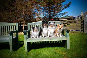 Bilder Hund Bank (Möbel) Collie Sitzend Tiere