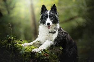 Fotos Hunde Border Collie Starren Laubmoose
