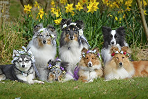 Photo Dogs Collie Staring animal
