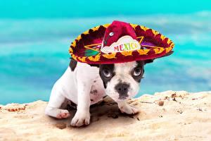 Bilder Hunde Französische Bulldogge Welpen Der Hut