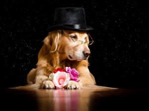 Fotos Hund Golden Retriever Rosen Brille Der Hut