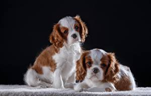 Bilder Hunde King Charles Spaniel 2 ein Tier