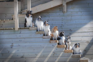 Images Dog Many Collie Stairs