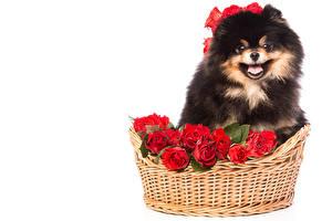 Hintergrundbilder Hund Rose Weißer hintergrund Weidenkorb Spitz
