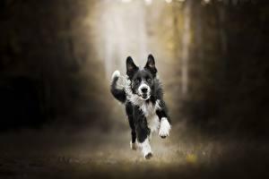 Bilder Hunde Laufen Border Collie Tiere
