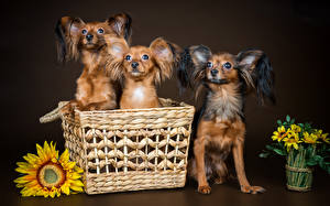 Image Dog Helianthus Three 3 Russkiy Toy Wicker basket Animals
