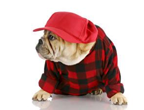 Bilder Hunde Weißer hintergrund Bulldogge Uniform Baseballcap