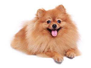 Bilder Hunde Weißer hintergrund Spitz Zunge