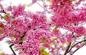 Hintergrundbilder Blühende Bäume Ast Rosa Farbe Blumen