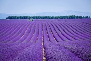 Bakgrundsbilder på skrivbordet Frankrike En åker Lavendelsläktet Provence Natur