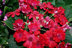 Fotos Storchschnäbel Nahaufnahme Rot Blüte