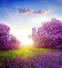 Bakgrundsbilder på skrivbordet Syrensläktet Lavendelsläktet Blommor