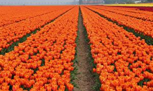 Photo Netherlands Fields Tulips Many Orange Keukenhof Flowers