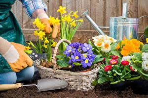 Picture Primula Daffodils Bellis Wicker basket