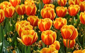 Image Tulips Closeup Orange Flowers