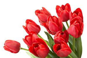 Hintergrundbilder Tulpen Großansicht Weißer hintergrund Rot Blumen