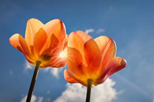 Pictures Tulips Orange 2 Flowers
