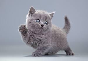 Bilder Katze Graues Blick Tiere