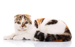 Hintergrundbilder Katzen Schottische Faltohrkatze Blick Tiere