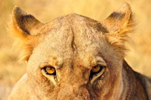 Picture Closeup Eyes Lion Lioness Glance Animals