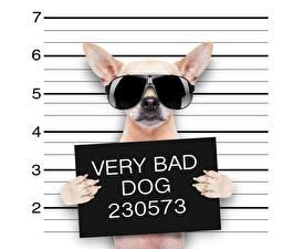 Hintergrundbilder Kreativ Hunde Lustige Chihuahua Brille Englischer Pfote Tiere